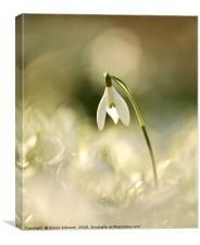 Isolated snowdrop , Canvas Print
