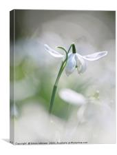 Isolated snowdrop, Canvas Print