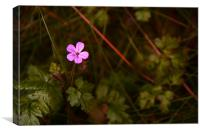 Herb Robert, Canvas Print