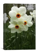 White Narcissus, Canvas Print