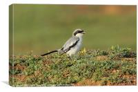 Southern Grey Shrike, Canvas Print