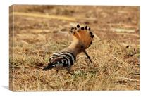 Hoopoe with open crest., Canvas Print