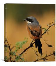 Long-tailed Shrike, Canvas Print