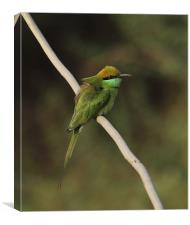 Green Bee-eater, Canvas Print