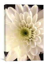 white flower , Canvas Print