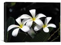 Flowers of Plumeria, Canvas Print