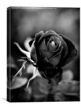 The Black Rose, Canvas Print