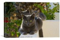 Three Grey Catz, Canvas Print