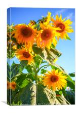 A field of sunflowers , Canvas Print