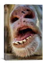 Alpaca Lama pacos, closeup of the mouth and teeth, Canvas Print