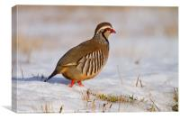 Red-legged partridge (Alectoris rufa), Scotland, Canvas Print