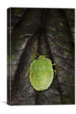 Green Shield Bug (Palomena prasina), Canvas Print