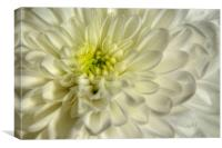 White Chrysanthemum, Canvas Print