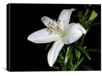 White Lily, Canvas Print