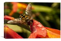 Hoverfly at Rest, Canvas Print
