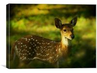 Indian Spotted Deer, Canvas Print