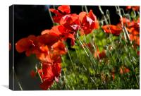Backlit Poppies, Canvas Print