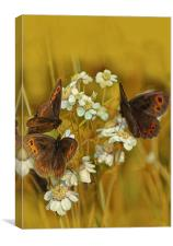 Scotch Argus Butterflies, Canvas Print