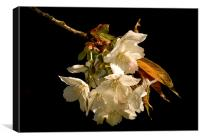 Sprig of White Cherry Blossom, Canvas Print