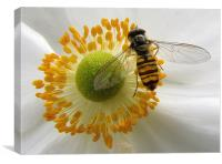 Hoverfly Feasting, Canvas Print