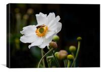 Japanese Anemone with Hoverfly, Canvas Print