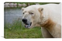 Polar Bear in Scotland, Canvas Print
