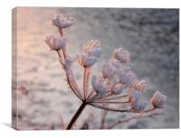 Frosted Seedhead, Canvas Print