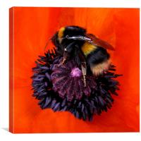 Hot Bumble on Red Poppy, Canvas Print