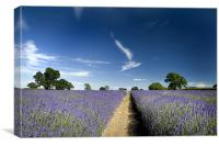 Lavender Fields, Canvas Print