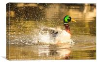 Like a duck to water, Canvas Print