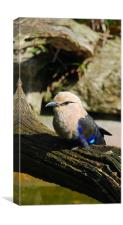 Blue-bellied Rollers, Canvas Print