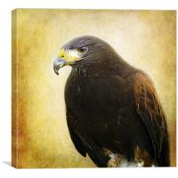 A Harris Hawk, Canvas Print