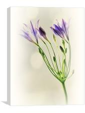 Californian Bluebell, Canvas Print