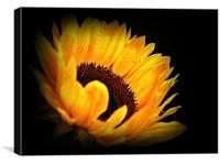 A Sunflower With Waterdrops., Canvas Print