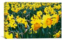 Daffodils for Mothers Day, Canvas Print