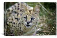 Malawi the Serval Cat, Canvas Print