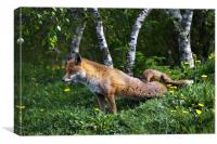 Fox stretching back legs, Canvas Print