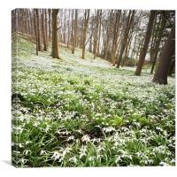 Snowdrops in the woods, Canvas Print