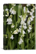 White Bluebells, Canvas Print