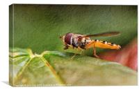Textured Hoverfly, Canvas Print
