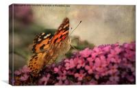 Painted Lady 3, Canvas Print