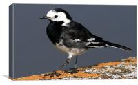 The Pied Wagtail, Canvas Print