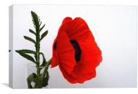 Red Poppy against white, Canvas Print
