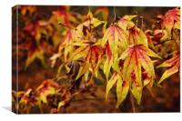 Autumn Maple Leaves at Westonbirt, Canvas Print