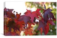 Red Maple Leaves, Canvas Print