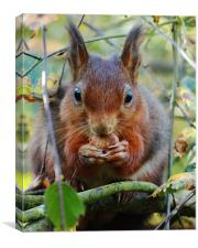 Hungry Red Squirrel, Canvas Print