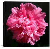 In the Pink, Canvas Print