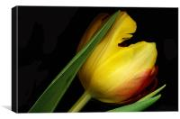Yellow Tulip, Canvas Print