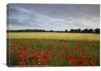 Field of barley and poppies at sunset. Norfolk, Canvas Print