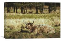 Highland cow laying in a field. Norfolk, UK., Canvas Print